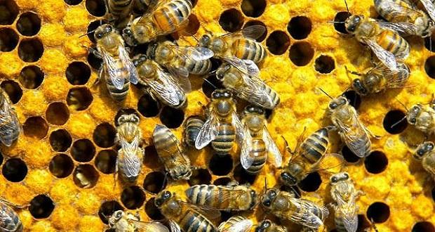 كيف تجعل النحل يتكاثر