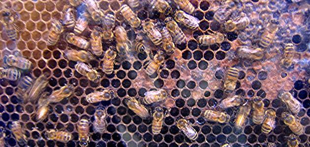 مراحل إنتاج العسل