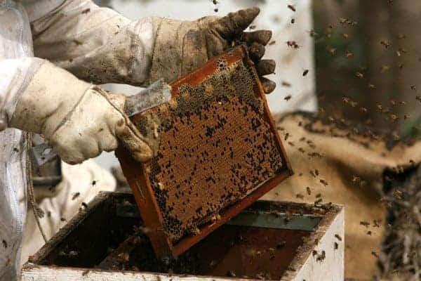 زيادة إنتاج العسل