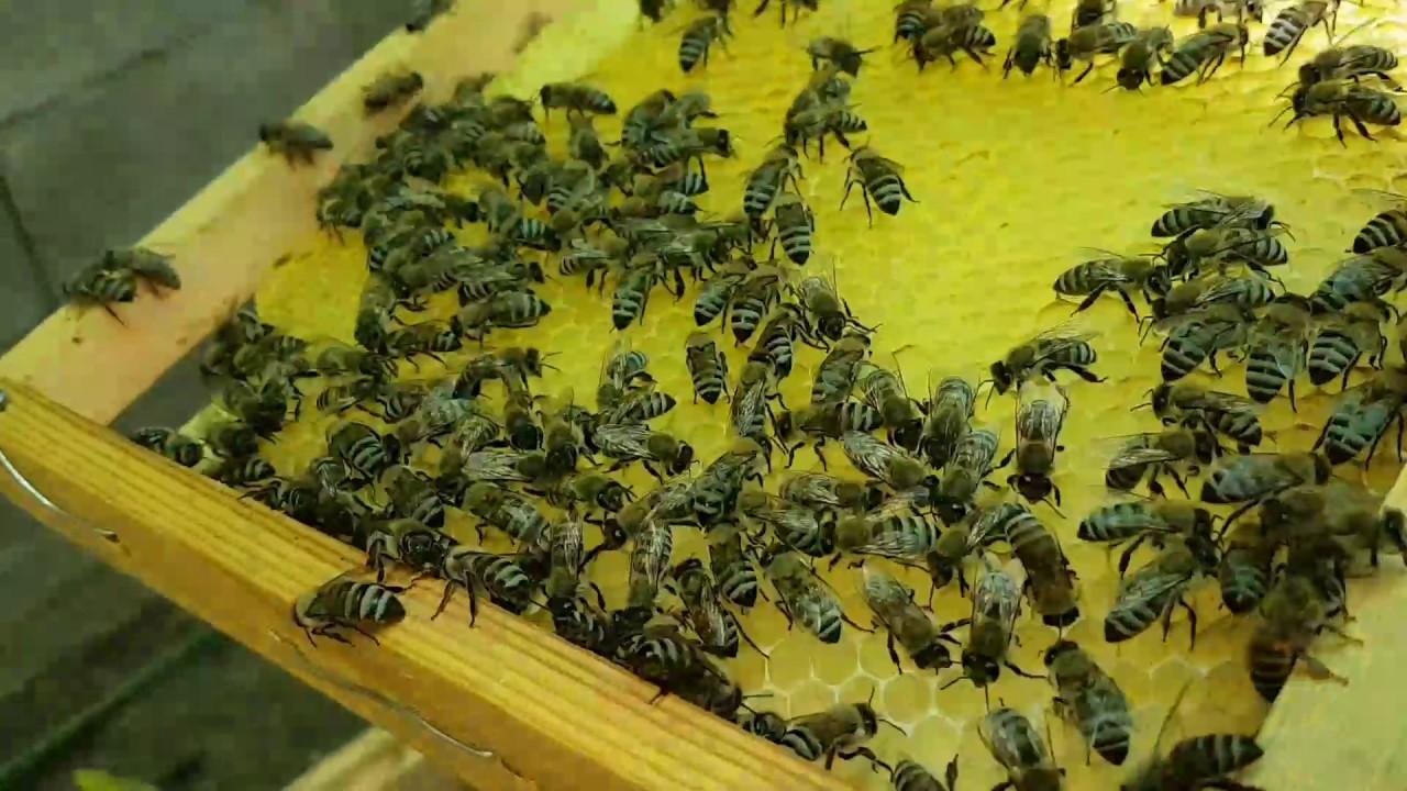 طريقة زيادة عدد النحل في الخليه