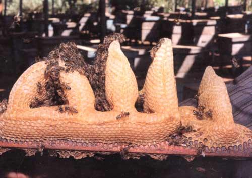 كم ينتج صندوق النحل من العسل