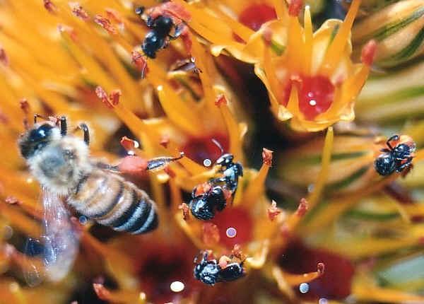 كيفية تقوية طرود النحل