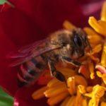 تغذية النحل بالتمر