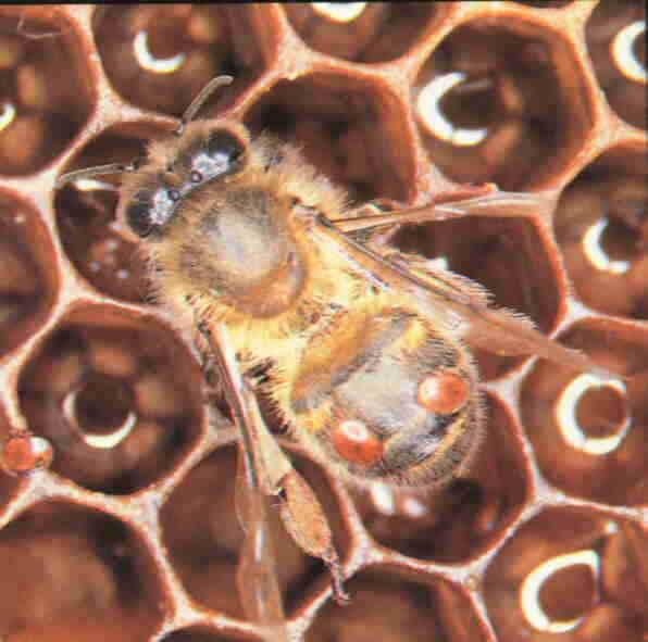 حشرة الفاروا
