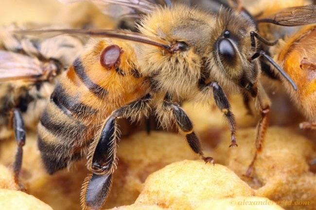 أمراض النحل الفاروا