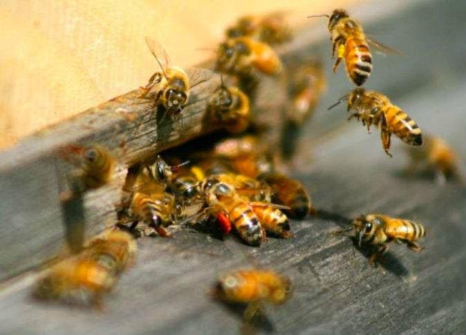 تغذية النحل