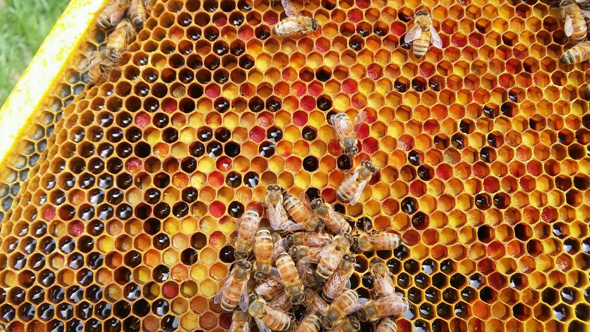 تغذية النحل في فصل الصيف