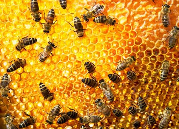 كيفية تغذية النحل بالعسل